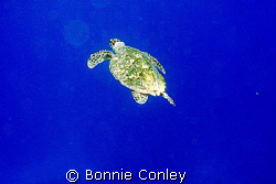 Turtle seen August 2008 in Grand Cayman.  Photo taken wit... by Bonnie Conley 